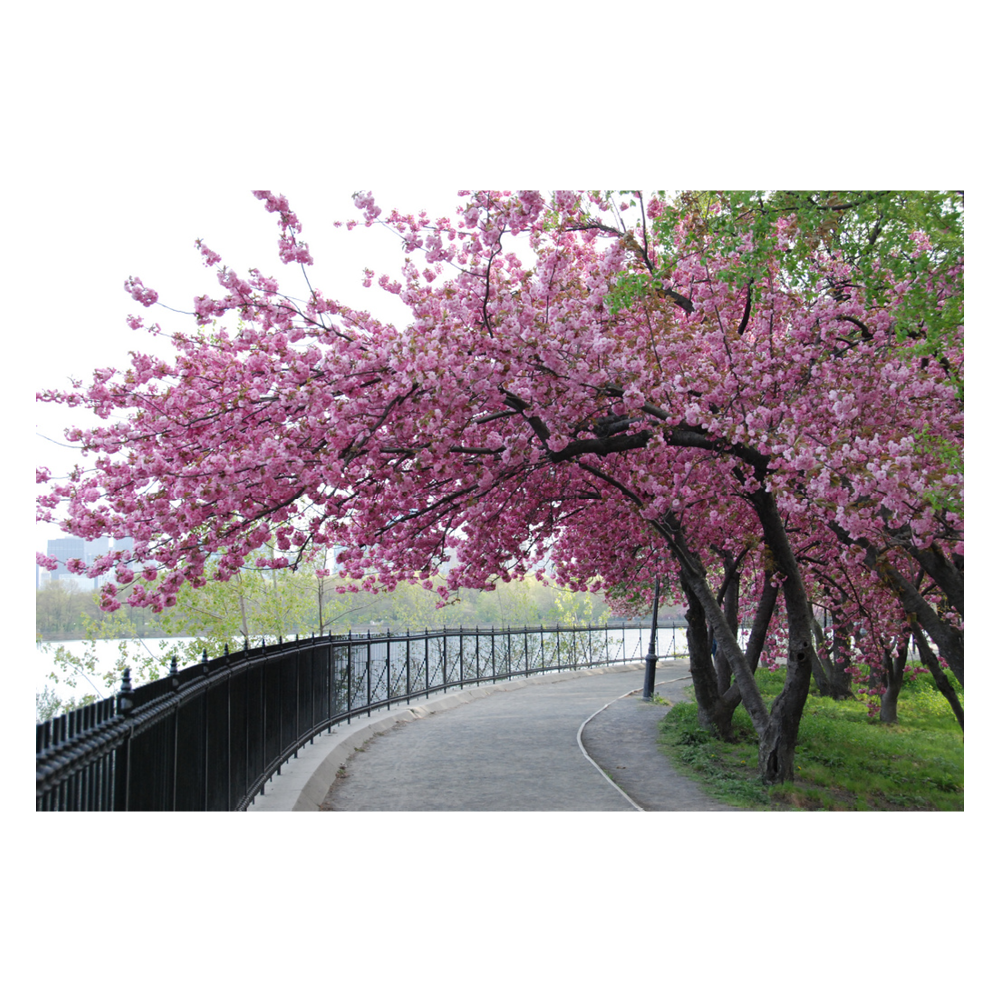 Cherry Blossoms, Central Park