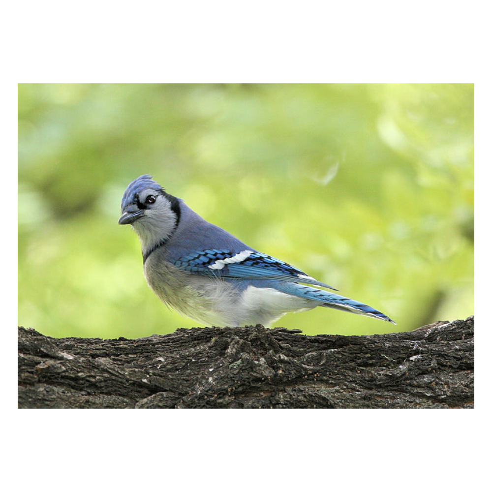 Blue Jay in Central Park