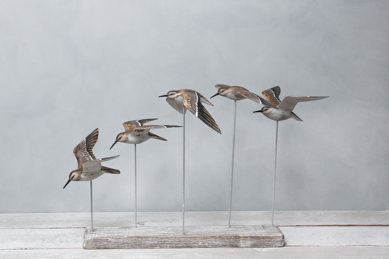 Sanderlings in Flight 5
