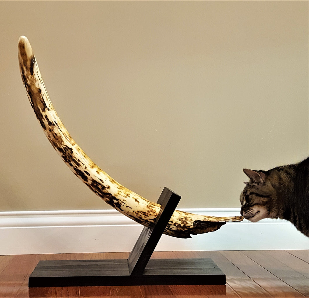 Fossil Woolly Mammoth Tusk - SOLD