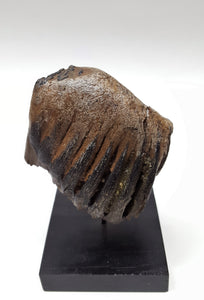 Alaskan Woolly Mammoth Tooth - Juvenile
