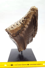 Load image into Gallery viewer, Alaskan Woolly Mammoth Tooth