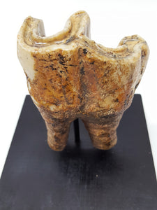 Woolly Rhinoceros Tooth
