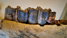 Load image into Gallery viewer, Woolly Rhinoceros Jaw with Teeth