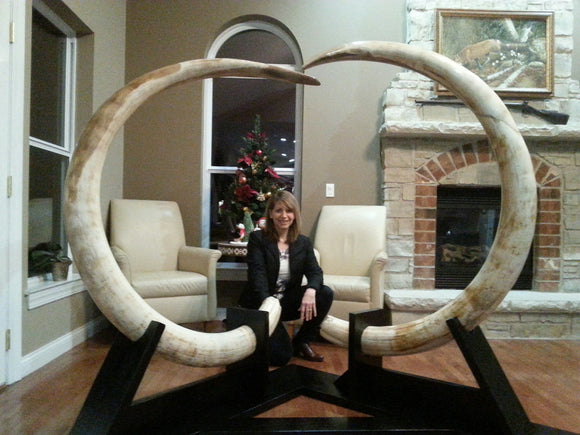 Impressive Matched Set Alaskan Mammoth Tusks
