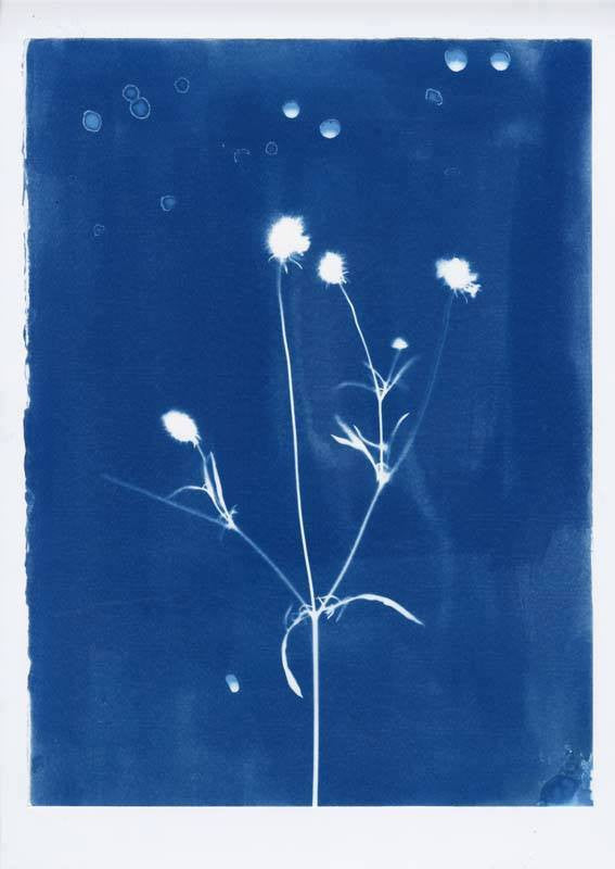 WILD FLOWER  Cyanotype     Alice Burns