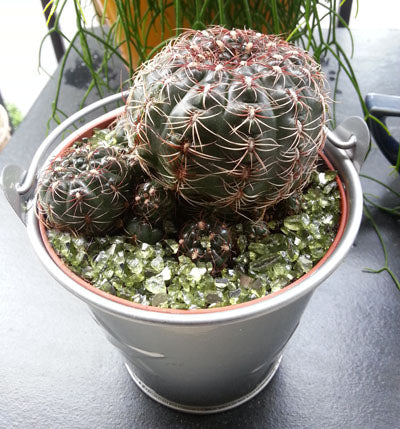Cacti in a silver Bucket
