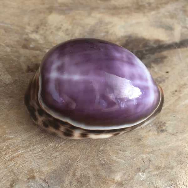 Tiger Cowrie Shells - Purple Top