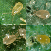 Mite Predator Mix