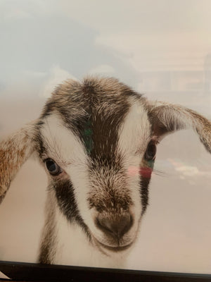 Goat Picture with Frame