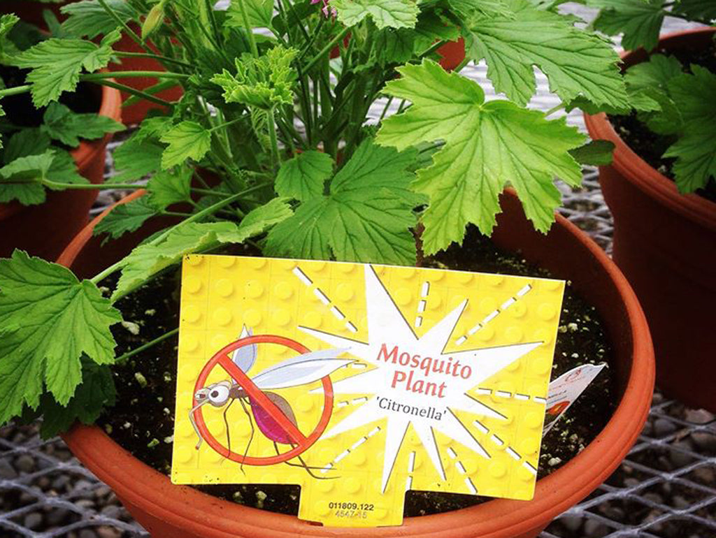 Plants to Keep Mosquitos Away!
