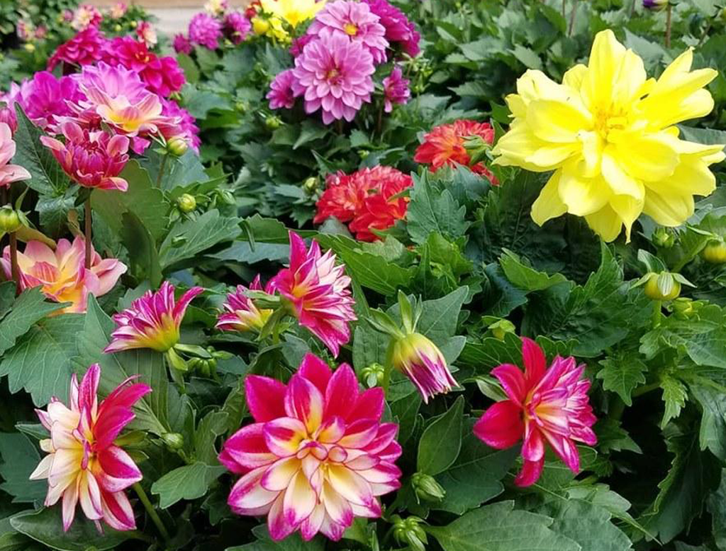 Dahlias for Days!