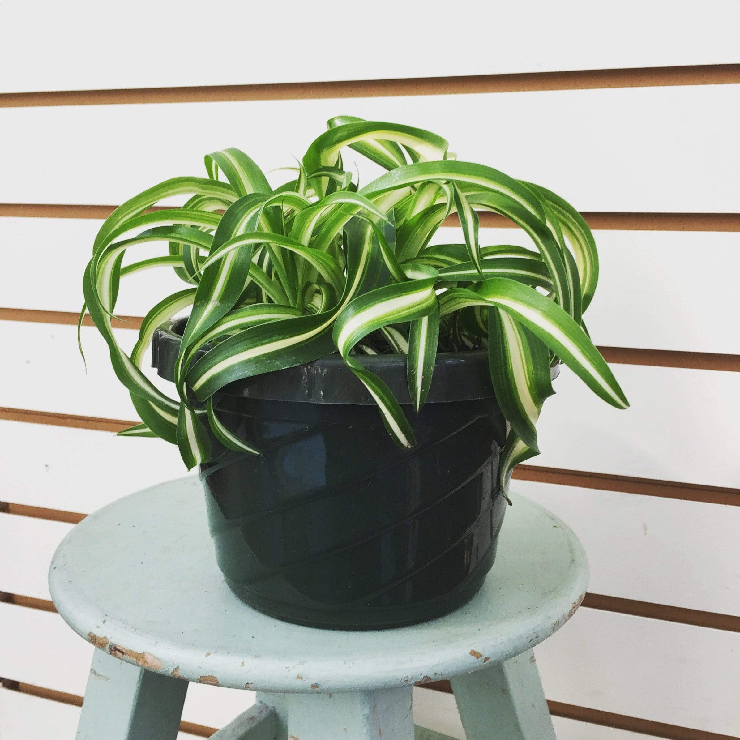 "The Plant Farm 6"" Plant Chlorophytum Curly Spider Plant"