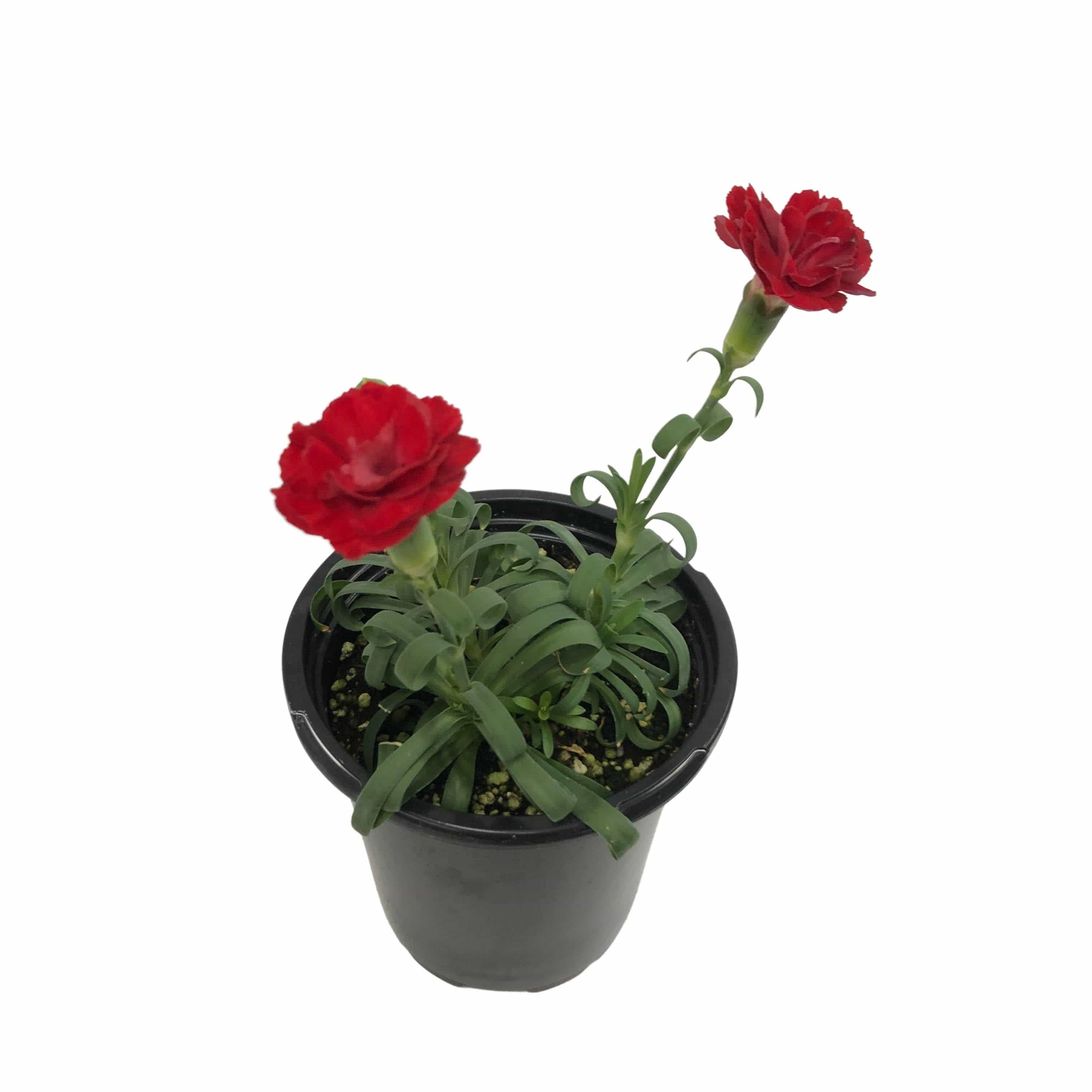 "The Plant Farm Bedding Plants Carnation SuperTrouper Scarlet, 4.5"" Plant"