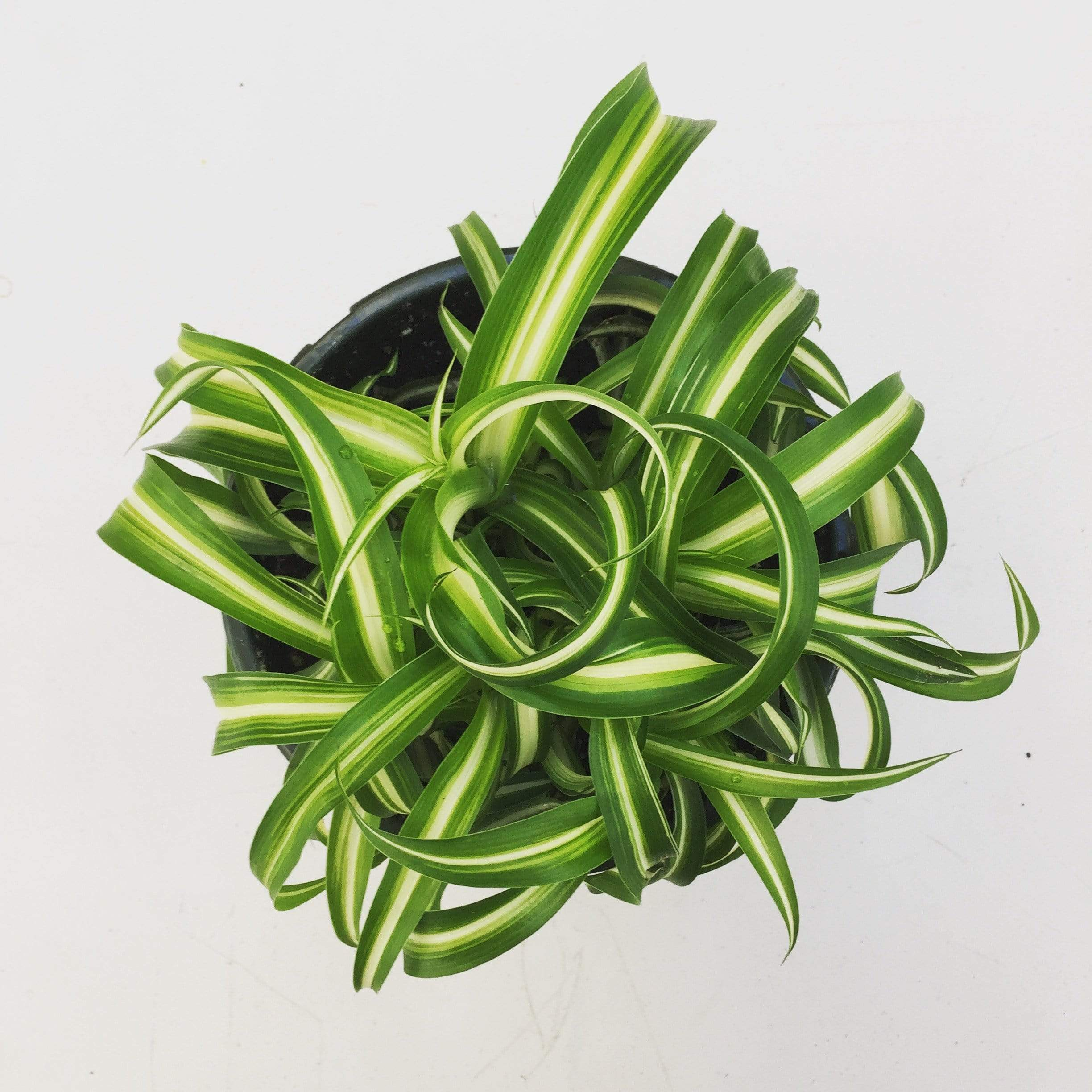 The Plant Farm Chlorophytum Curly Spider Plant