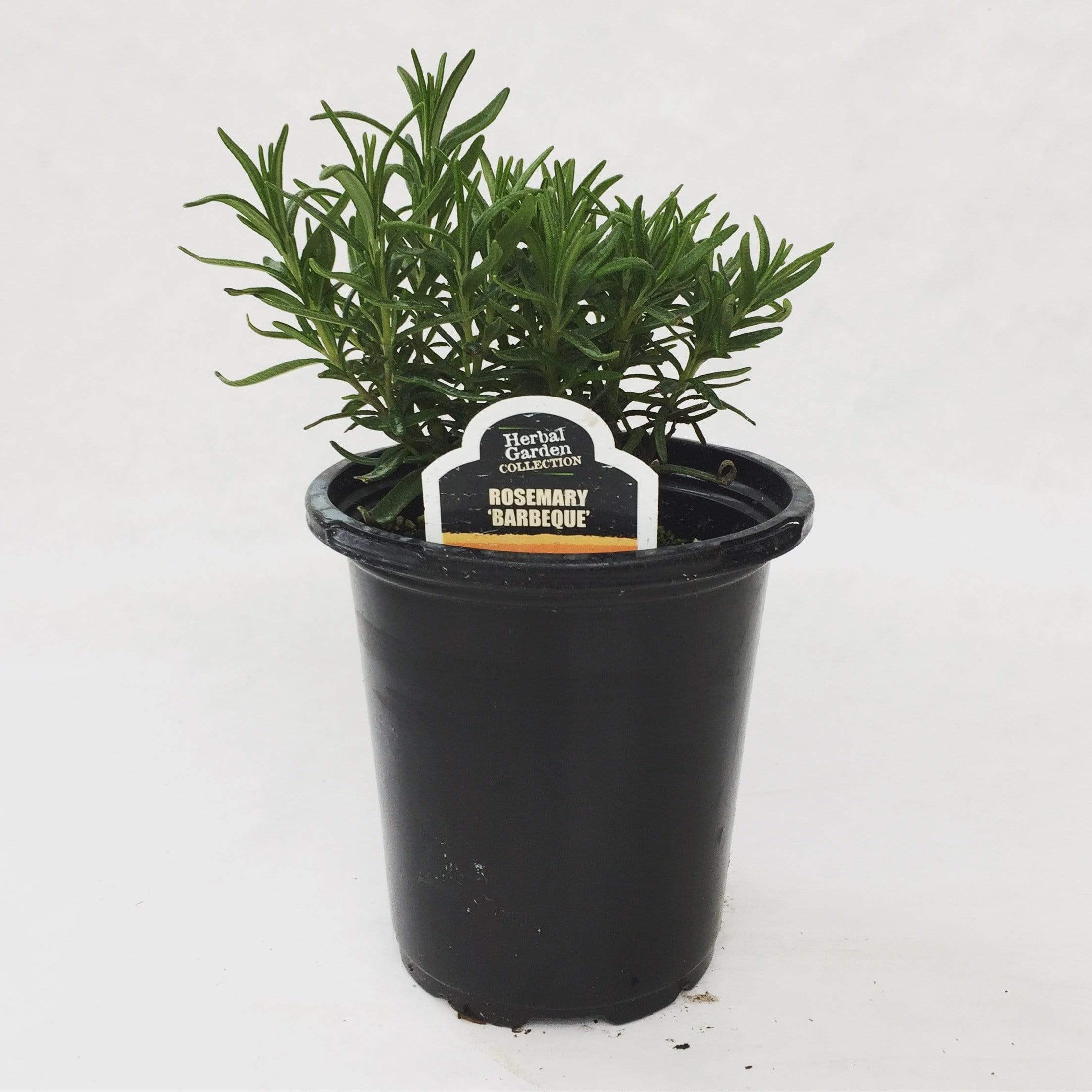 "The Plant Farm herb 4"" Plant Rosemary Barbeque Herb"
