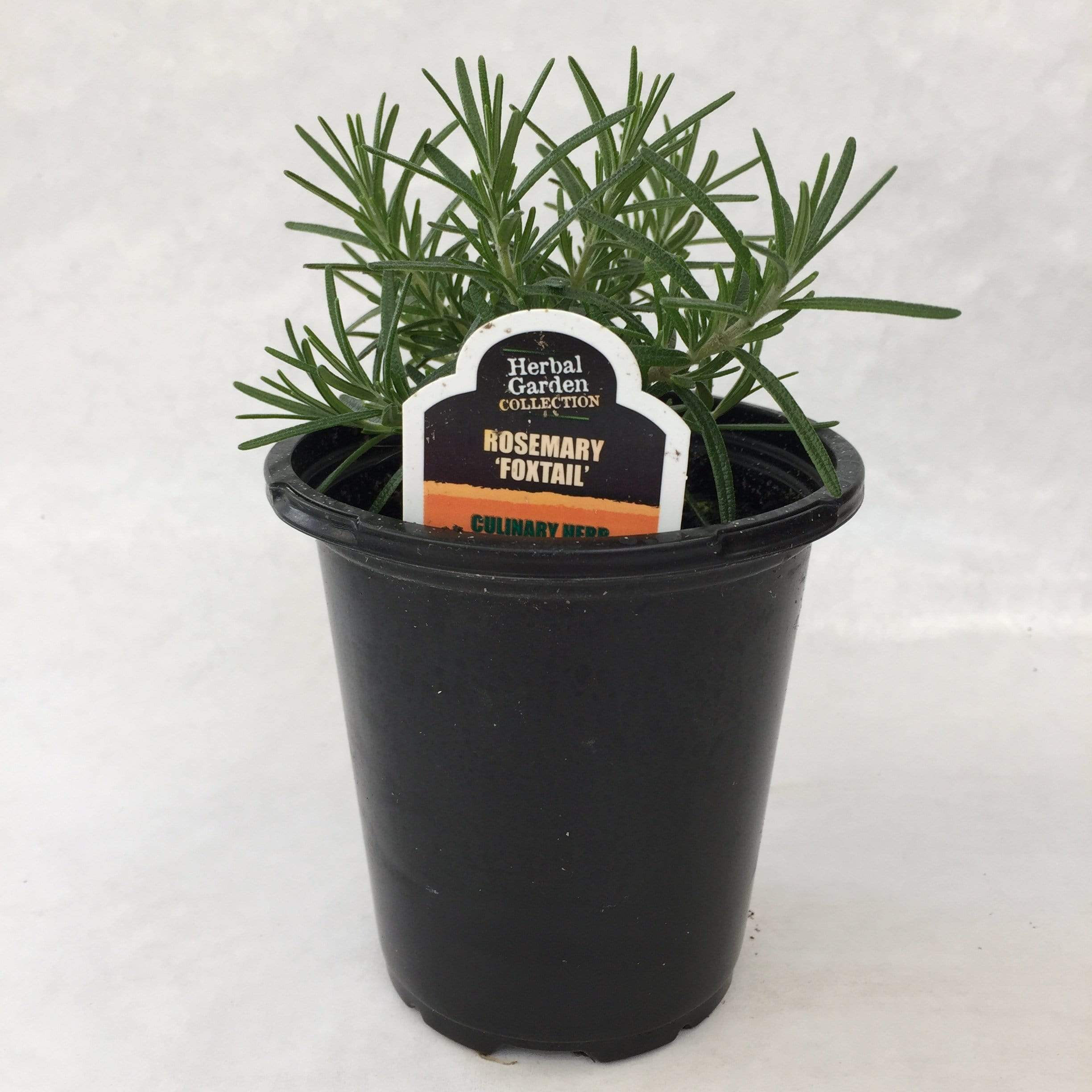 "The Plant Farm Herbs 4"" Plant Rosemary Foxtail Herb"