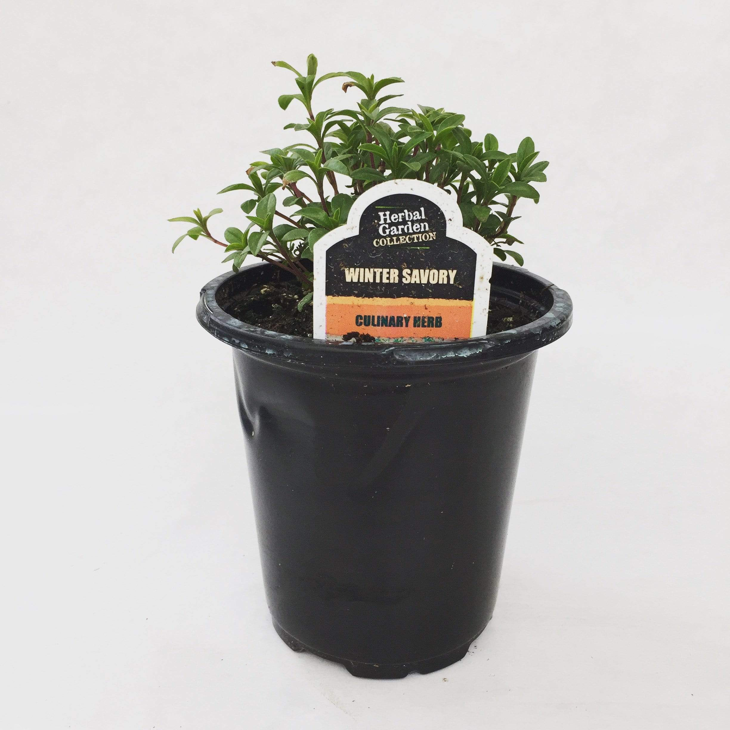 "The Plant Farm Herbs 4"" Plant Winter Savory Herb"