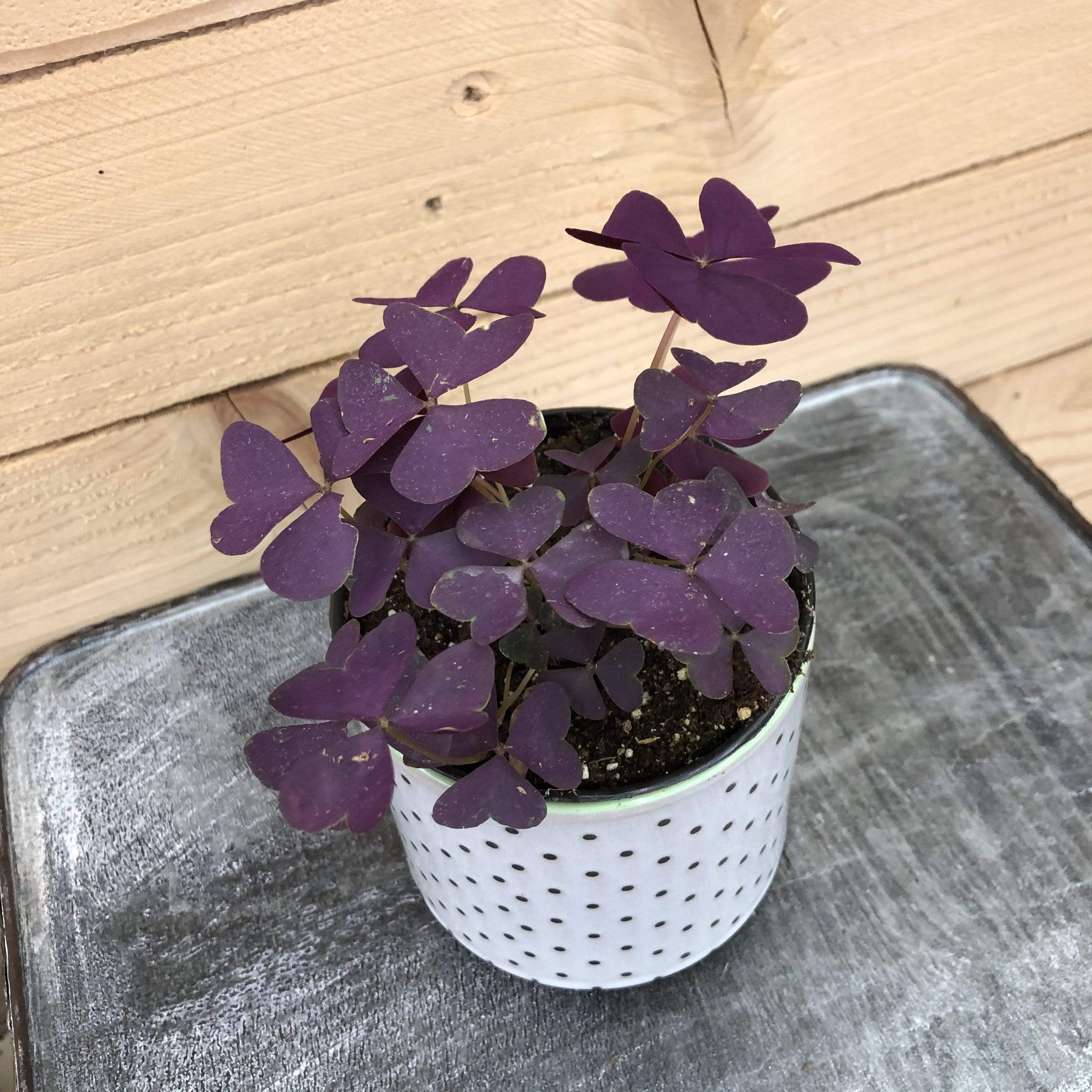 "The Plant Farm Holiday Plants 4"" Plant Oxalis Regnellii Francis Plant"