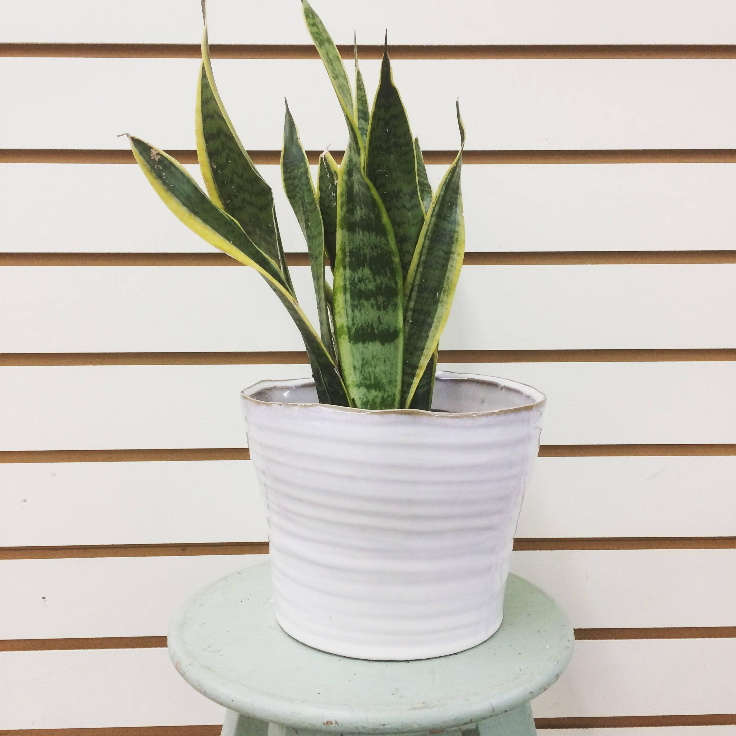 "The Plant Farm Houseplants 6"" Plant Sansevieria Laurentii"