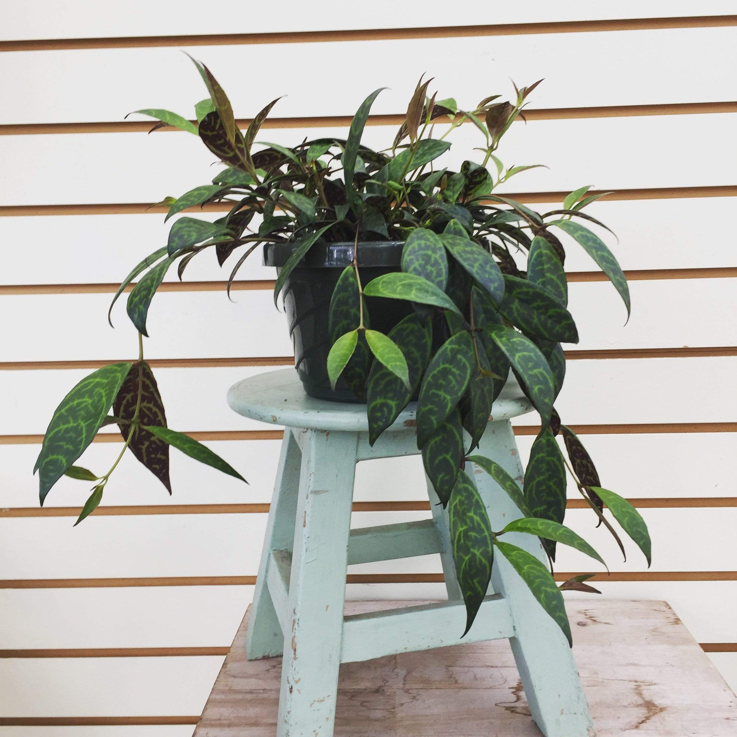 "The Plant Farm Houseplants Aeschynanthus Lipstick Black Pagoda, 6"" Plant"