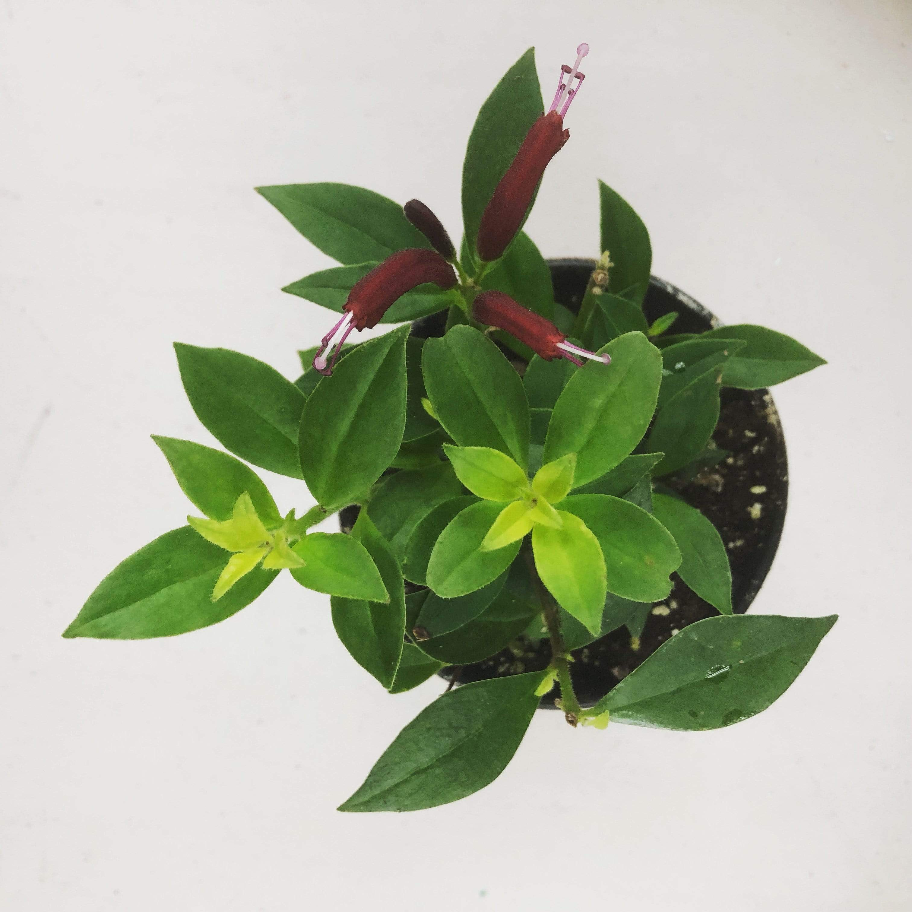 "The Plant Farm Houseplants Aeschynanthus Lipstick Purple Star, 4"" Plant"