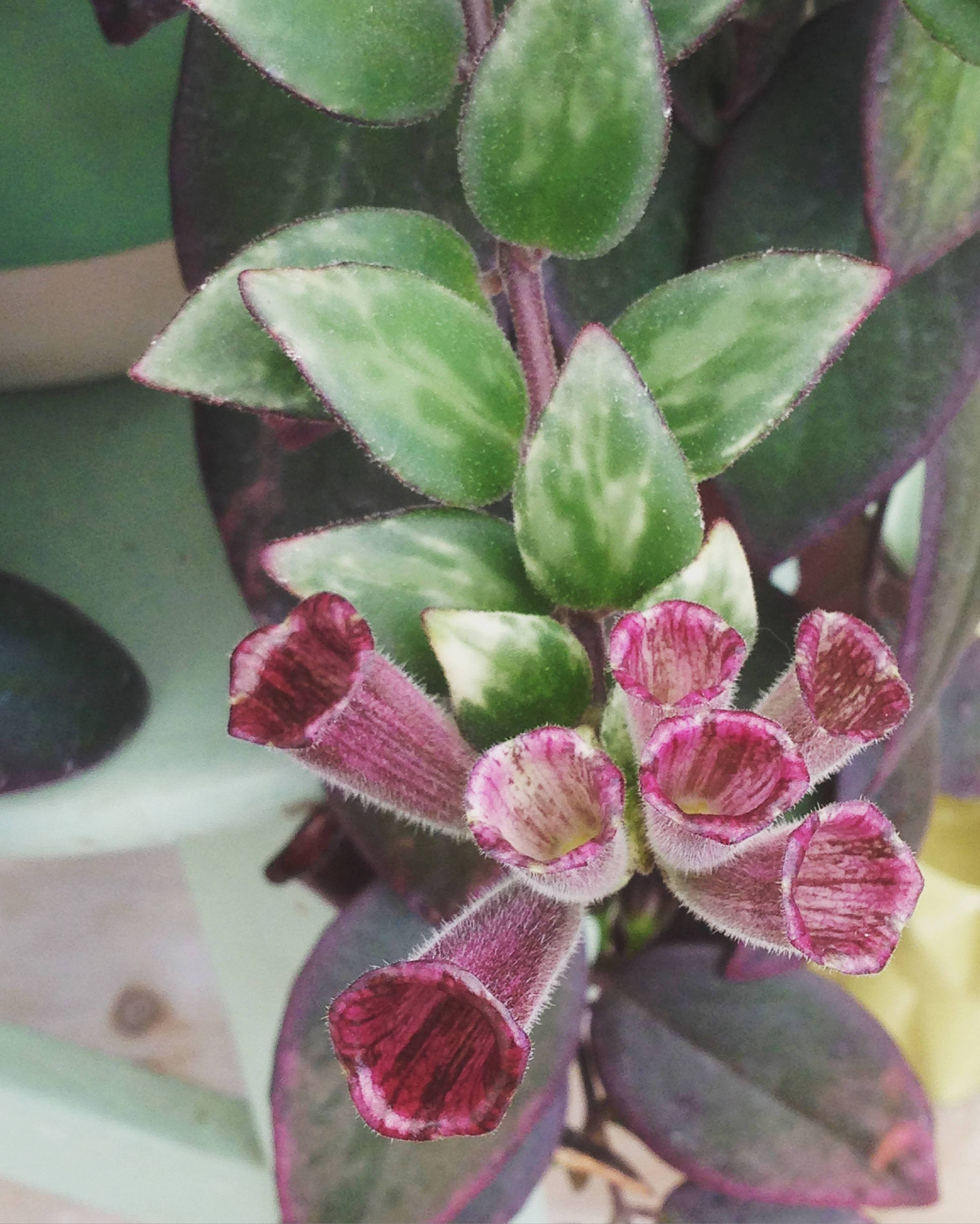The Plant Farm Houseplants Aeschynanthus Lipstick Variegated, Cuttings x5