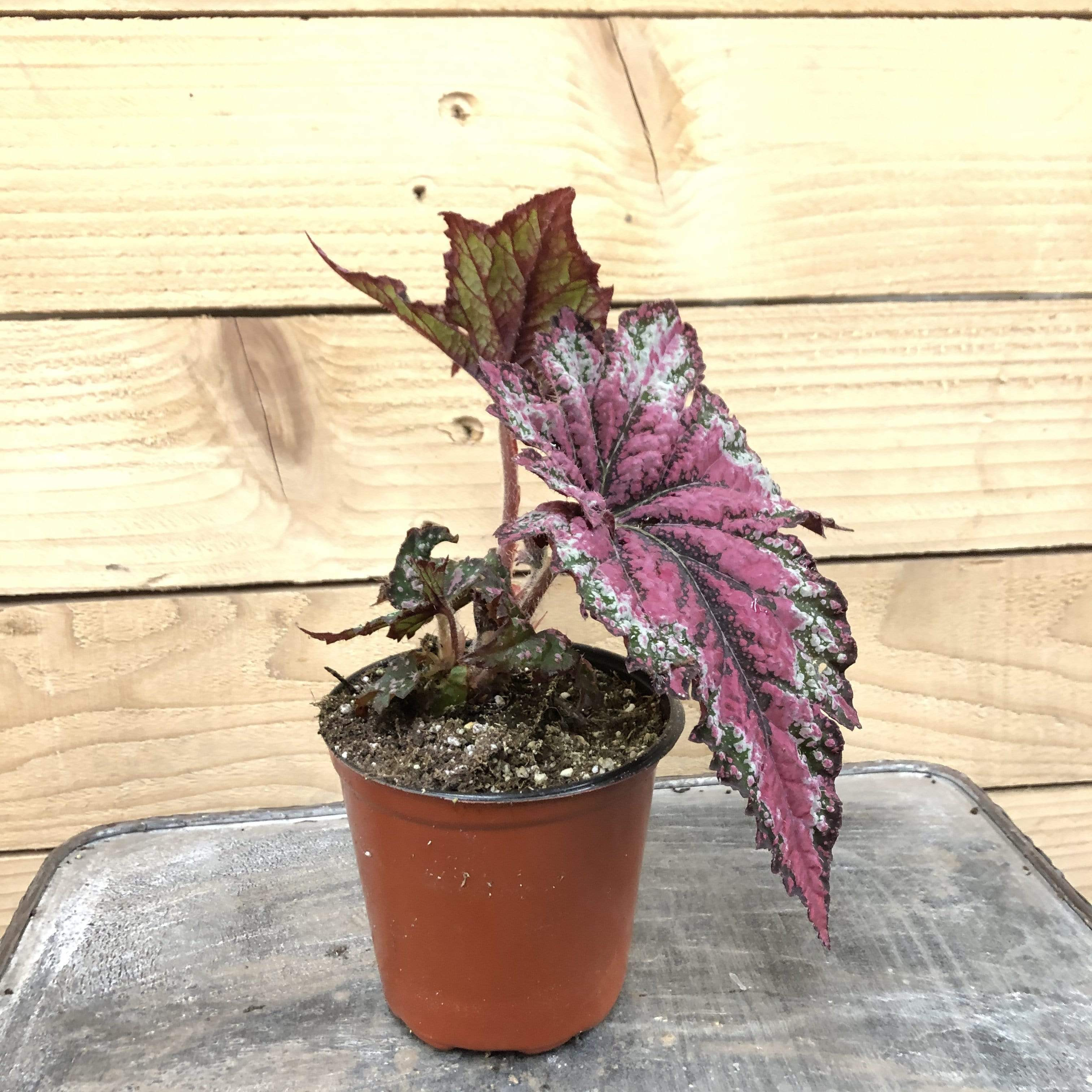 "The Plant Farm Houseplants Begonia Rex Dancing Peacock, 4"" Plant"