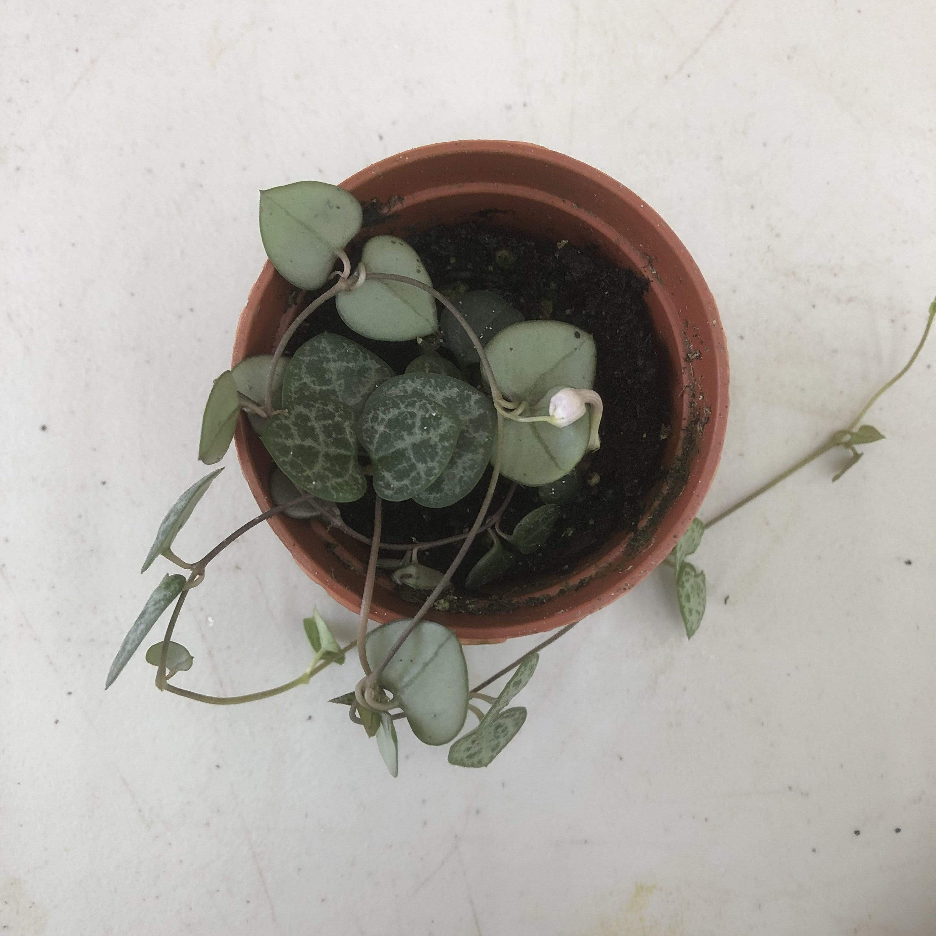 "The Plant Farm Houseplants Ceropegia Woodii String of Hearts, 2"" Plant"