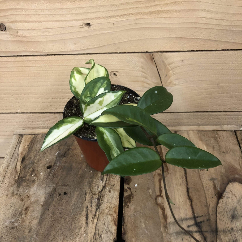 "The Plant Farm Houseplants Hoya Carnosa Krimson Princess, 4"" Plant"