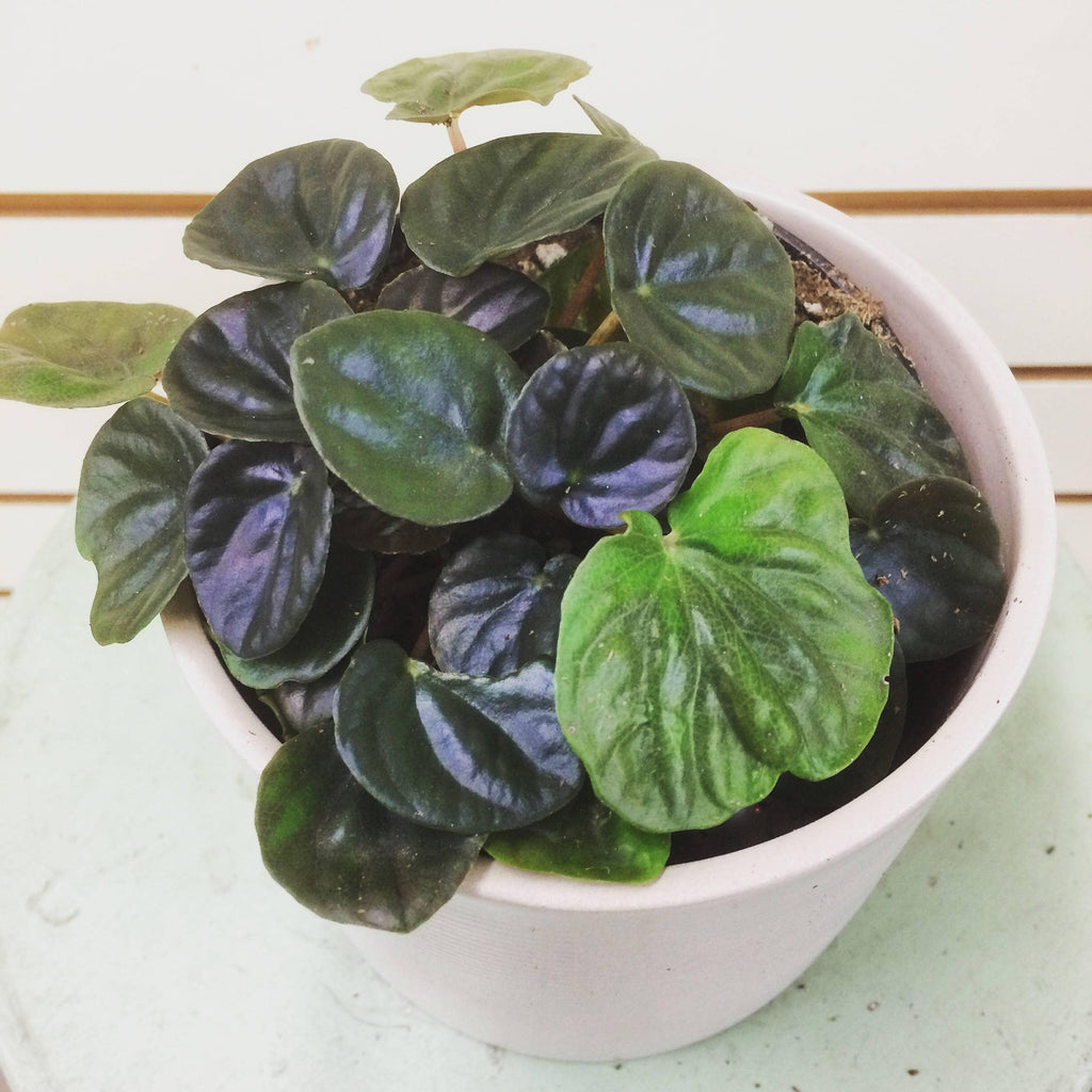 The Plant Farm Houseplants Peperomia Ripple Dark Green