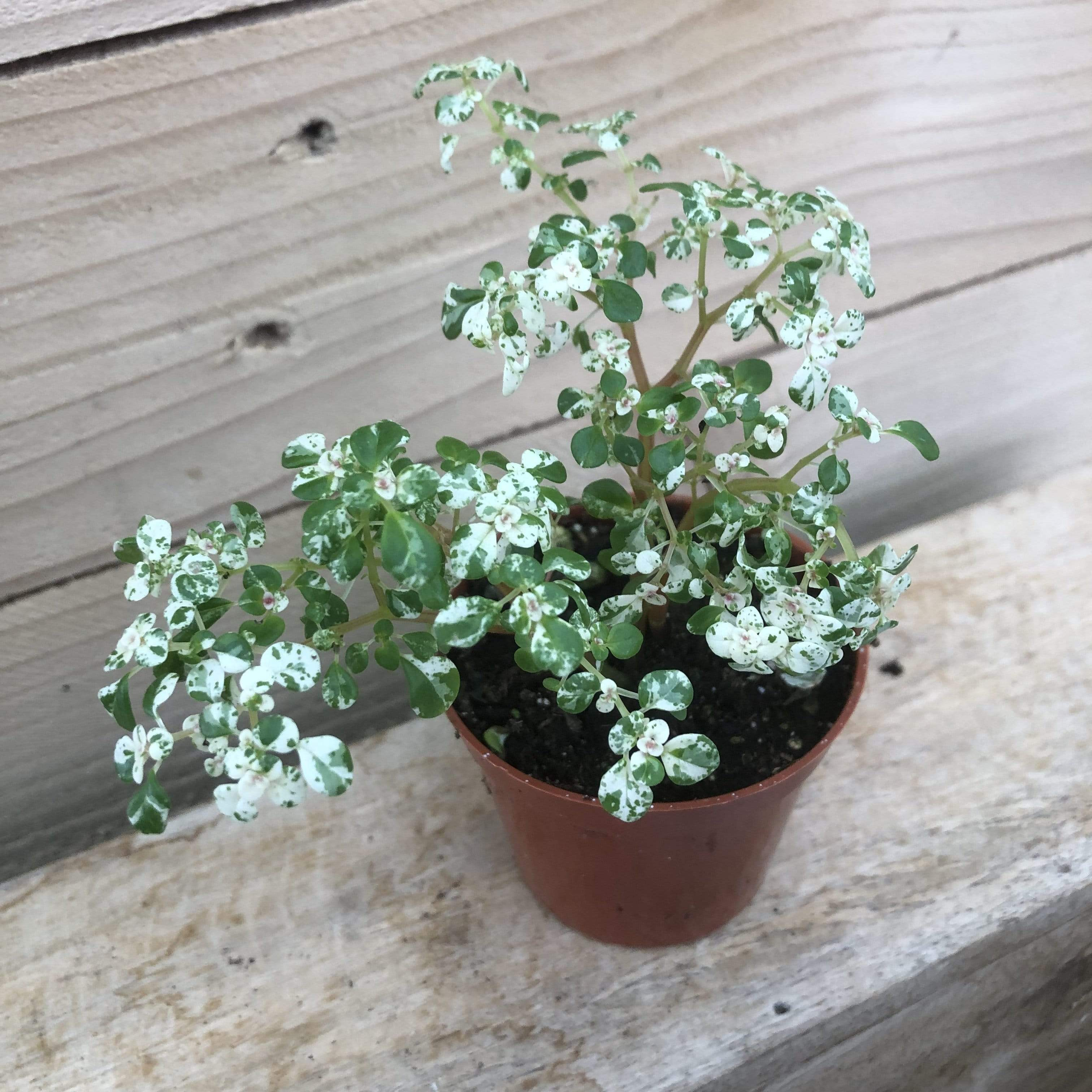 The Plant Farm Houseplants Pilea Microphylla Confetti