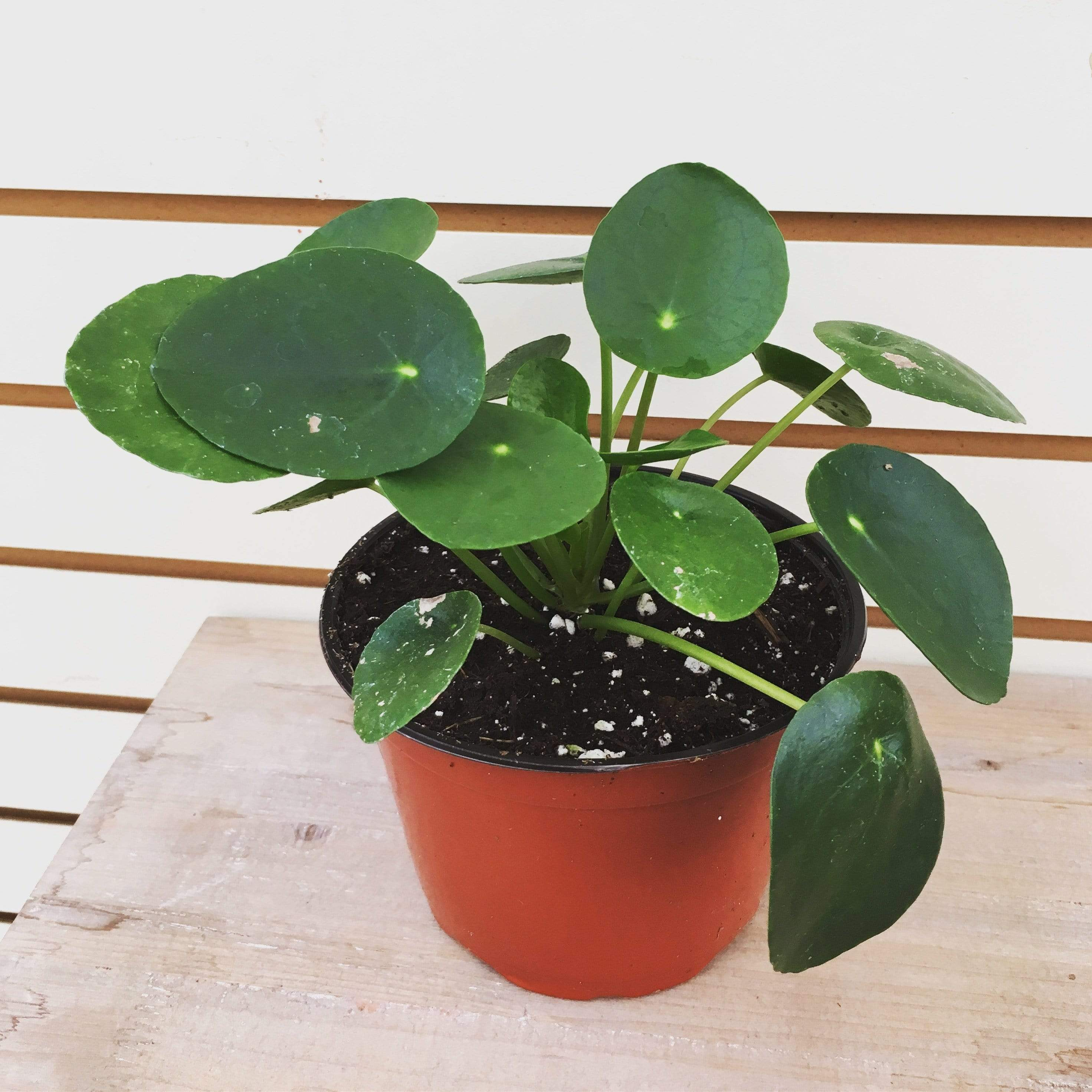 "The Plant Farm Houseplants Pilea Peperomioides Chinese Money Plant, 6"" Plant"