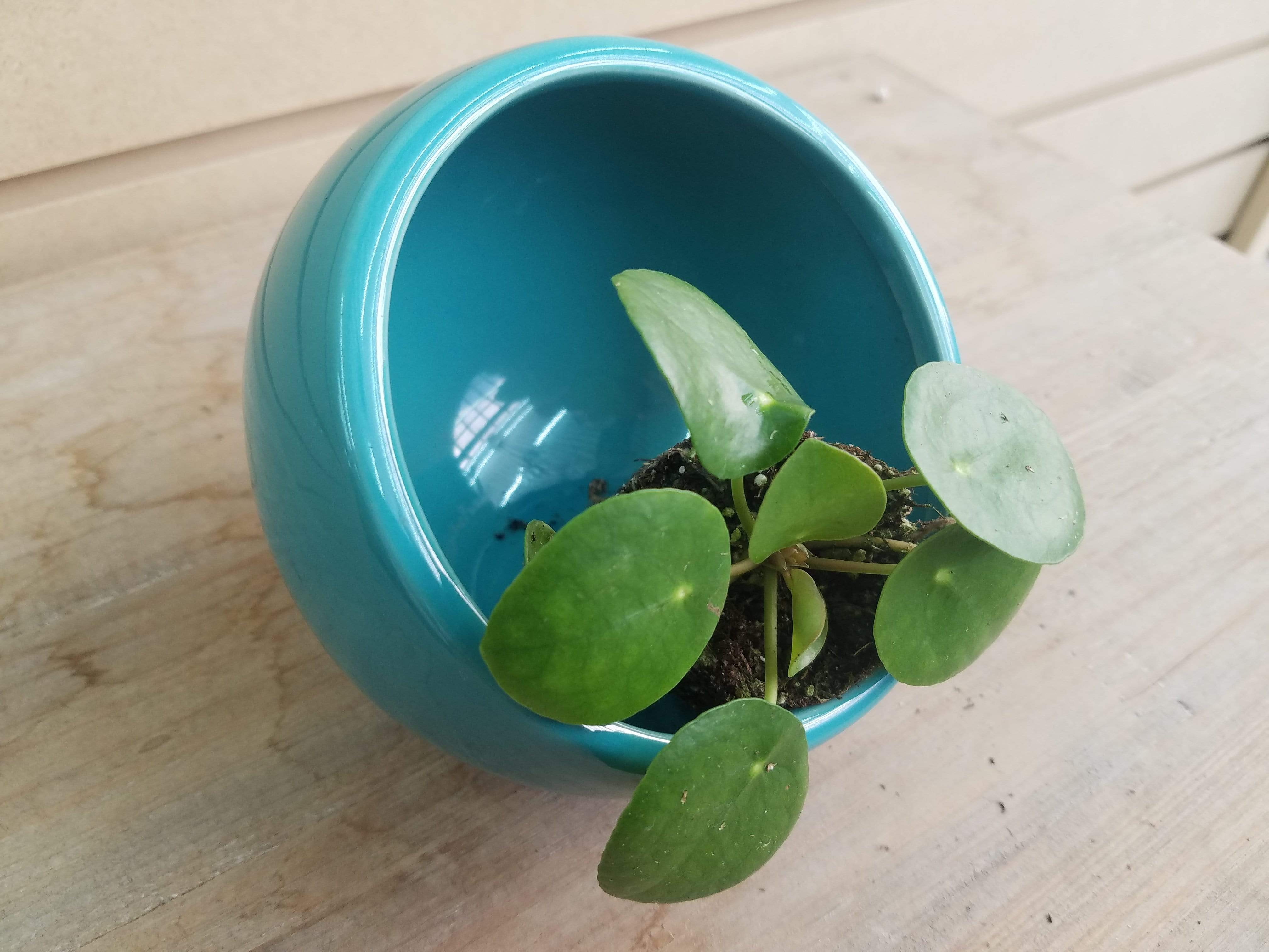 The Plant Farm Houseplants Pilea Peperomioides Chinese Money Plant Plug