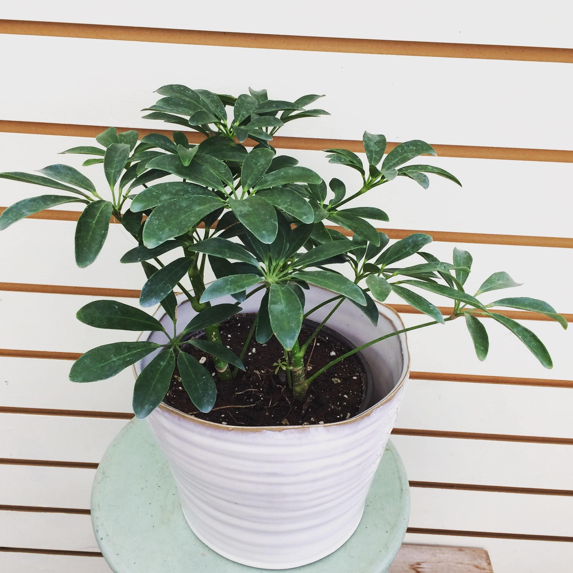 The Plant Farm Houseplants Schefflera Arboricola Nora