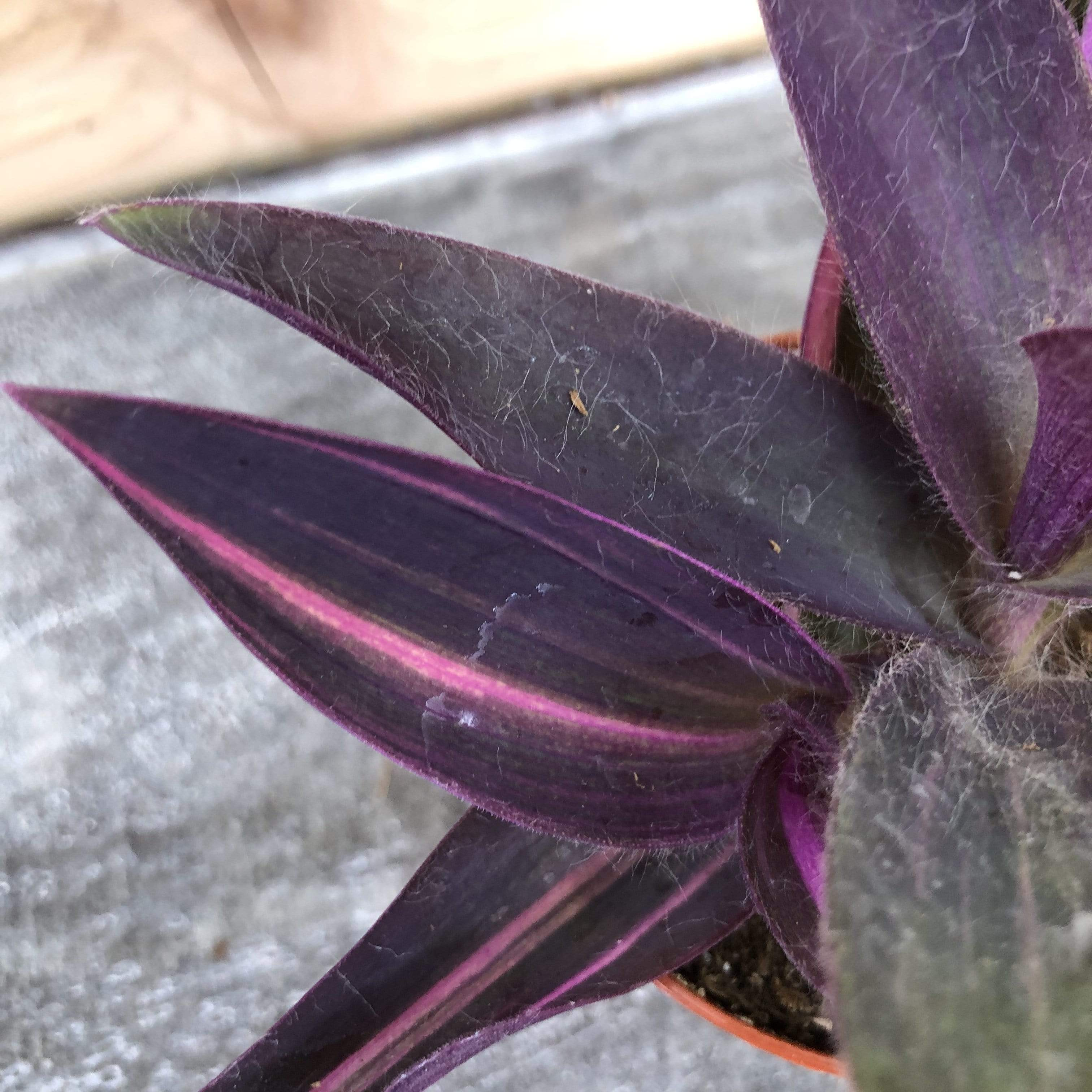 The Plant Farm Houseplants Setcreasea Purple Heart Variegated