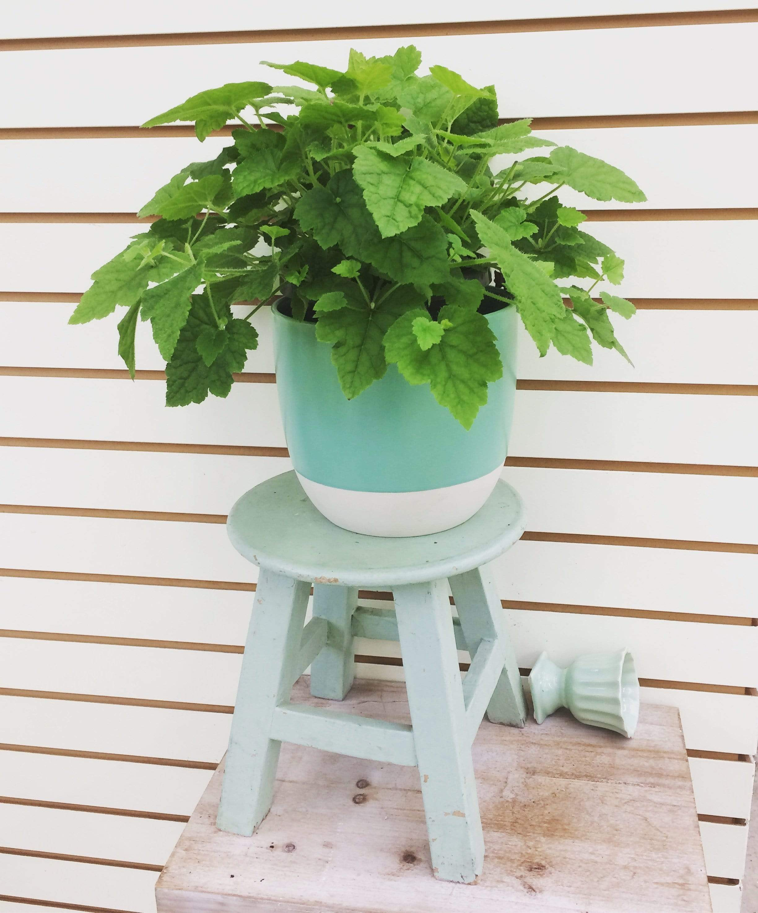 "The Plant Farm Houseplants Tolmiea Piggyback Plant, 6"" Plant"