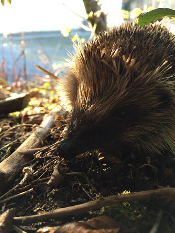 A real hedgehog looking for somewhere to hibernate for the winter