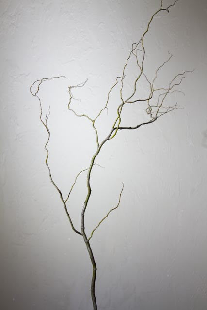 Fresh cut Curly Willow Branches 5 feet tall  Case of 6