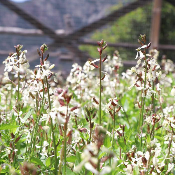 A field of fresh planted arugula flowers sprouting in a garden.