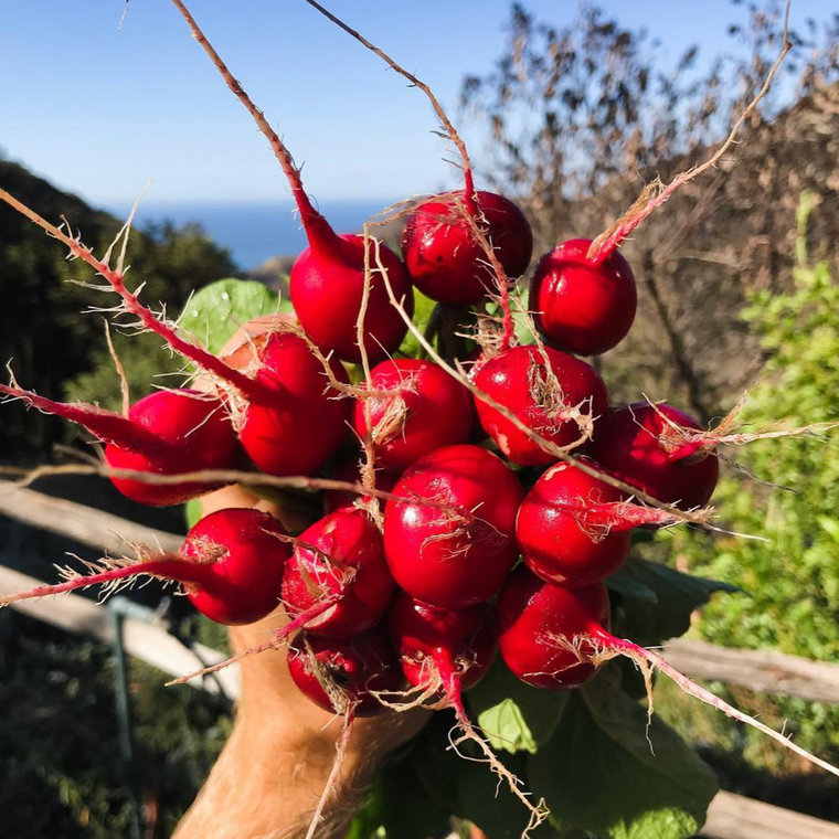 Cherry Radish - Bunch