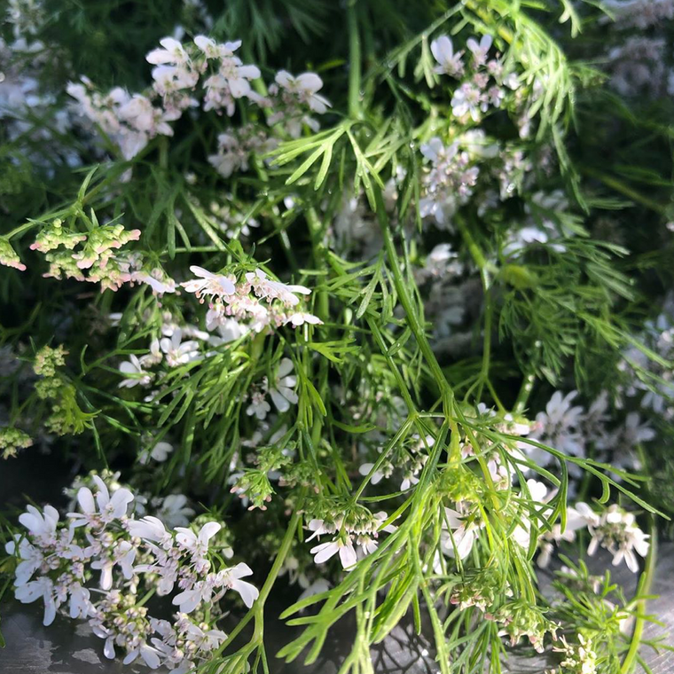 Cilantro Flowers - Bunch