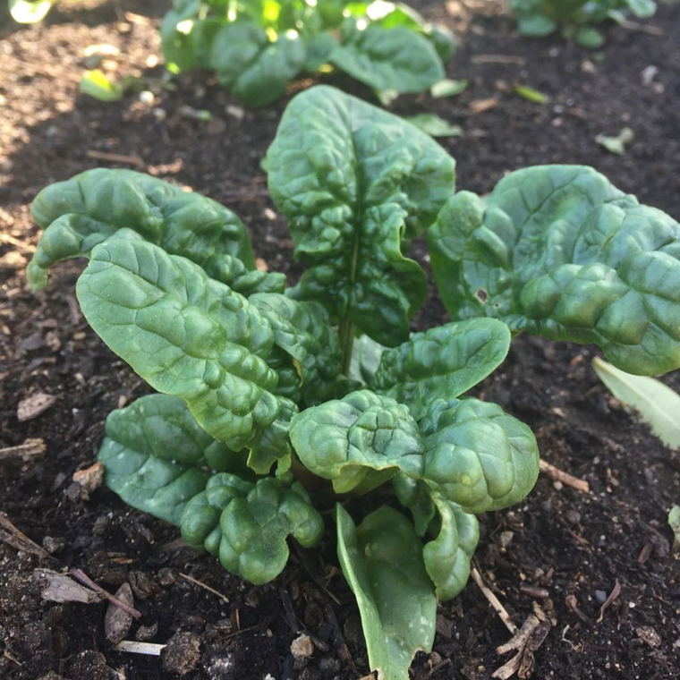 Abundant Bloomsdale Spinach - 2oz