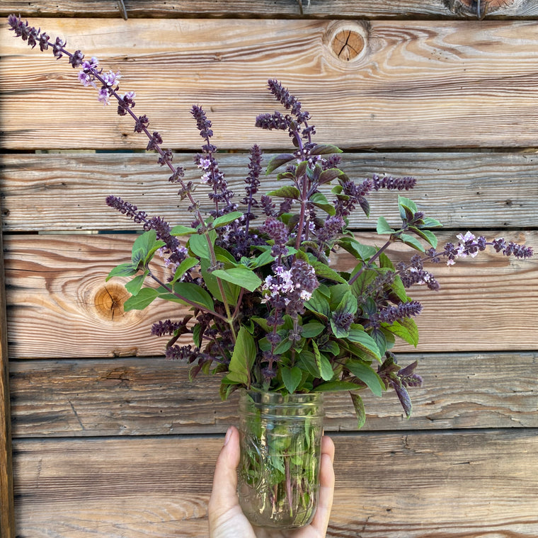 African Blue Basil - Bunch
