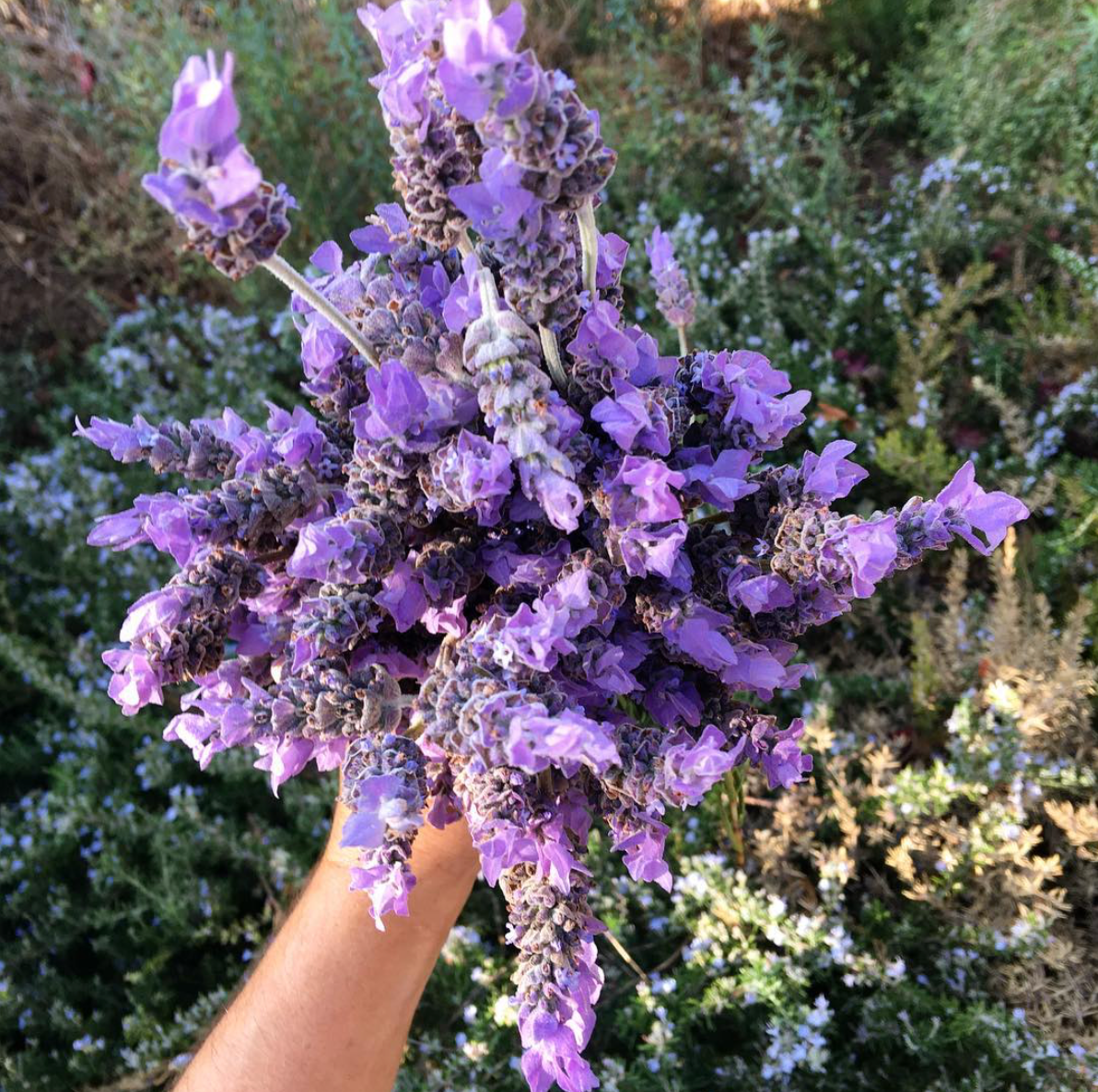 A bunch of Lavender at a biodynamic garden at One Gun Ranch in Malibu