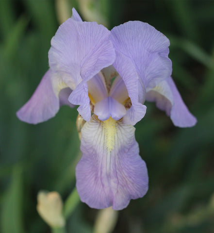 Lavender iris photo