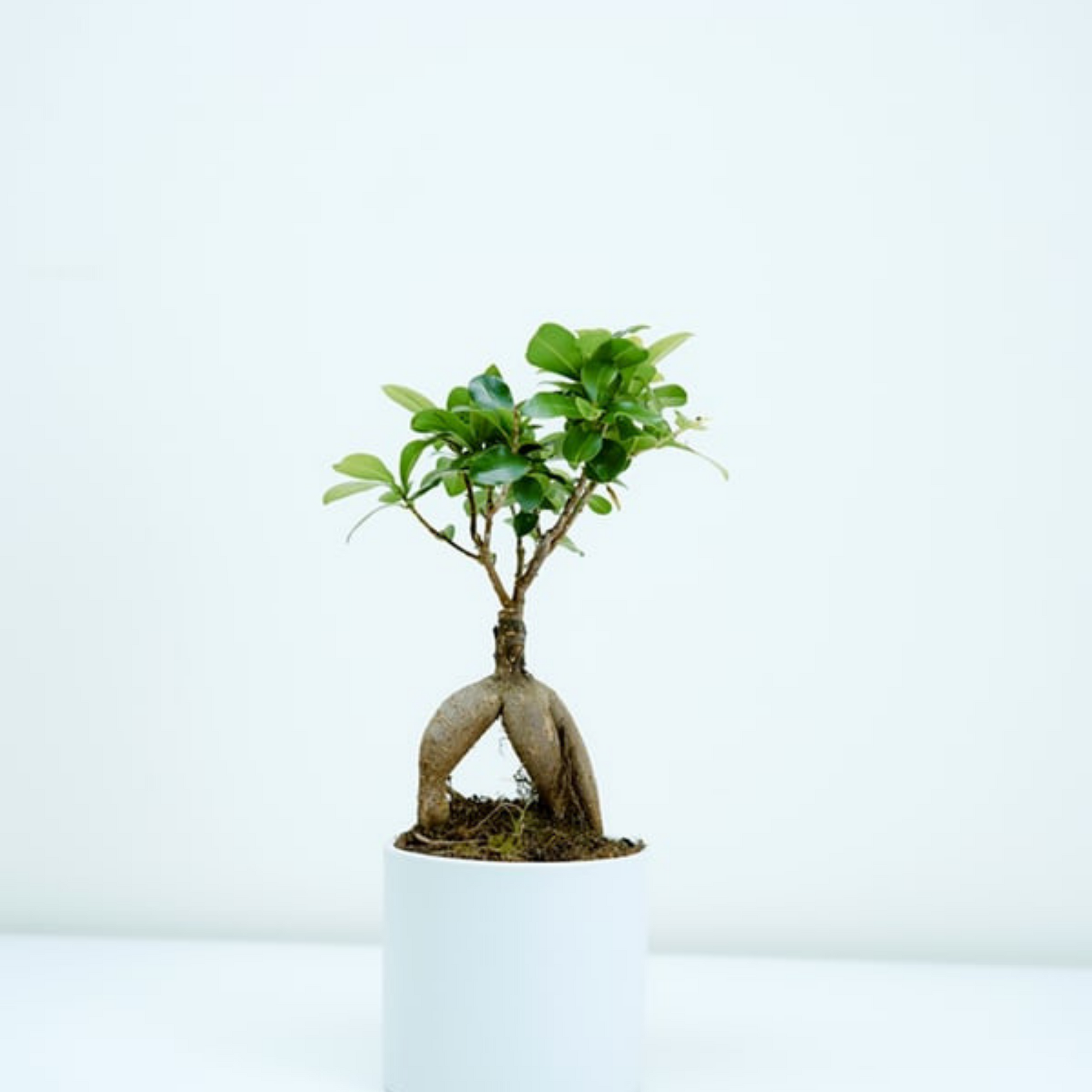 Displaying your Bonsai Tree at Home