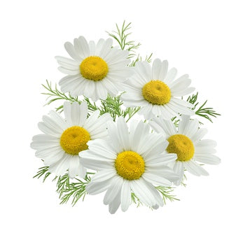 Chamomile (Roman) in Jojoba Oil