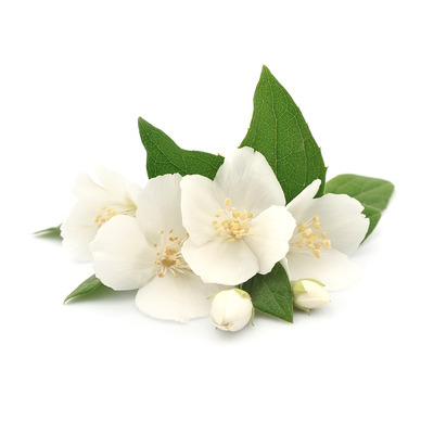 Jasmine Grandiflorum in Jojoba Oil