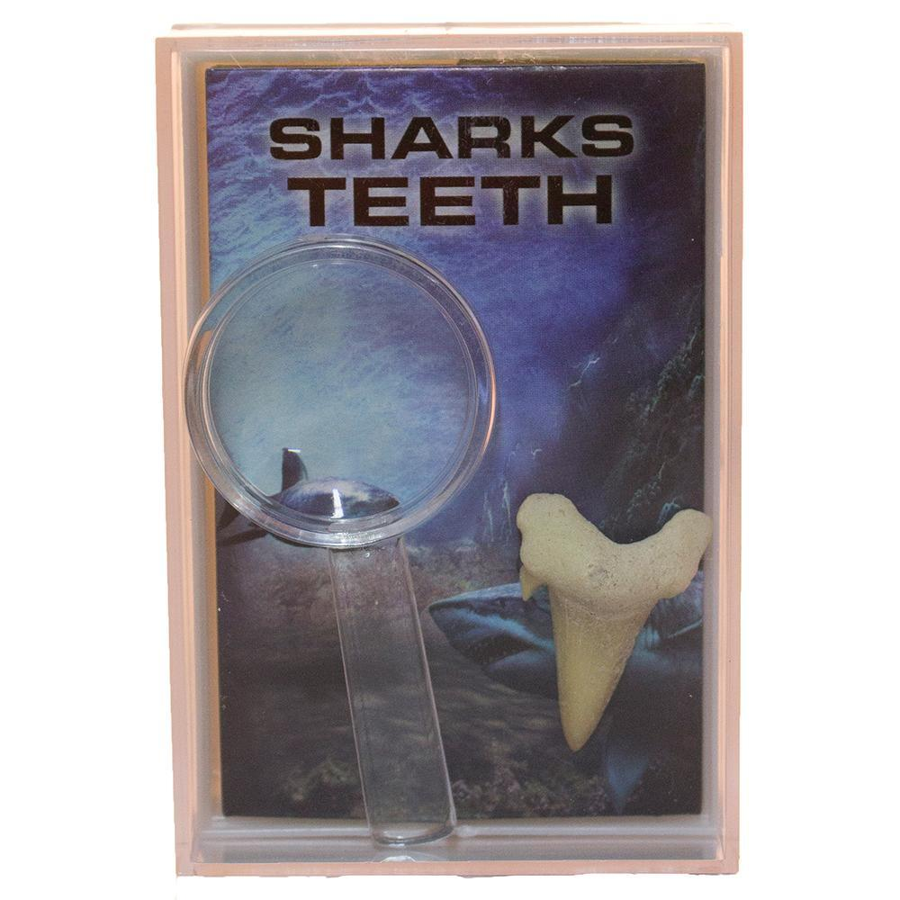 Shark Tooth Fossil w/ Magnifier